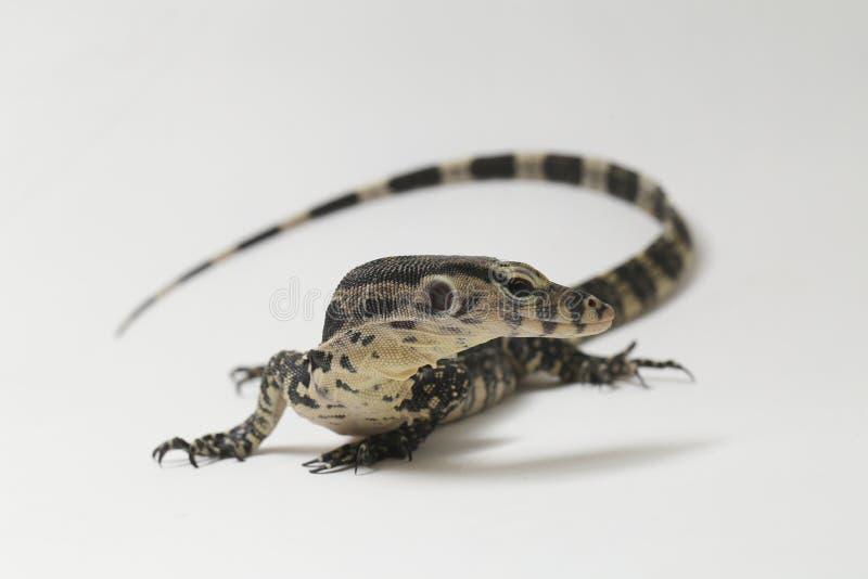 Azjatycki Wodnego monitoru Varanus lub jaszczurki salvator zdjęcia stock