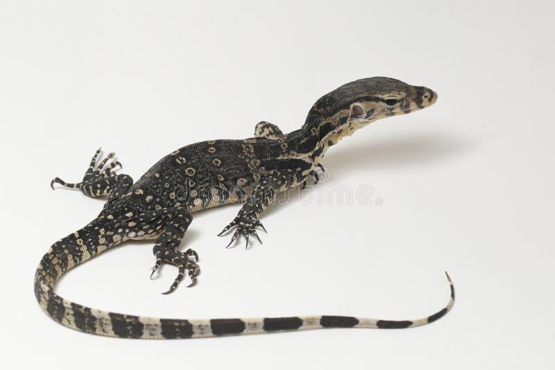 Azjatycki Wodnego monitoru Varanus lub jaszczurki salvator obrazy stock