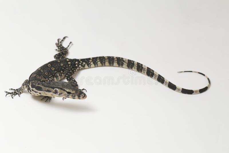 Azjatycki Wodnego monitoru Varanus lub jaszczurki salvator zdjęcie royalty free