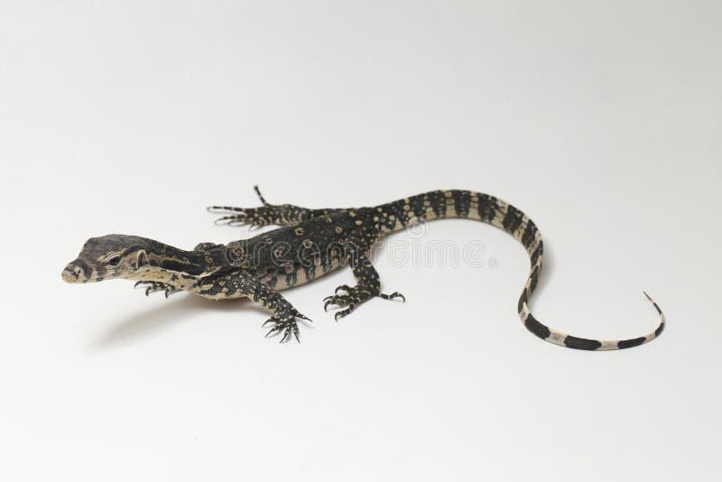 Azjatycki Wodnego monitoru Varanus lub jaszczurki salvator zdjęcia royalty free