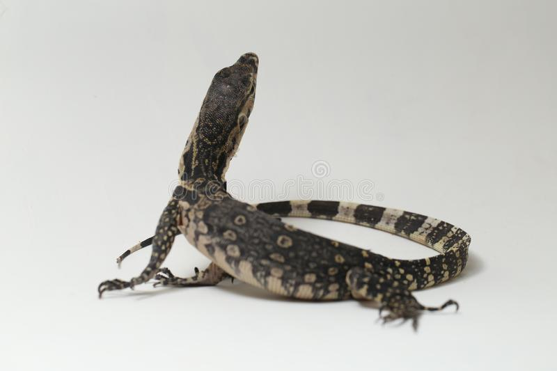Azjatycki Wodnego monitoru Varanus lub jaszczurki salvator obraz stock