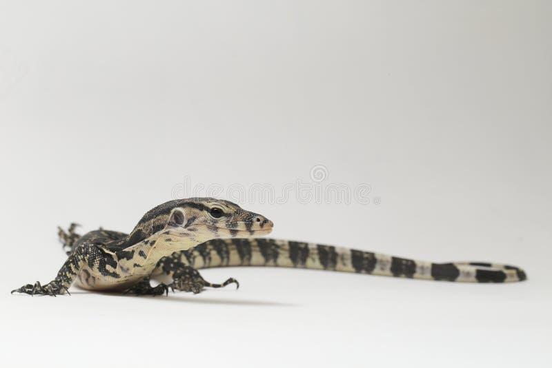 Azjatycki Wodnego monitoru Varanus lub jaszczurki salvator zdjęcie stock