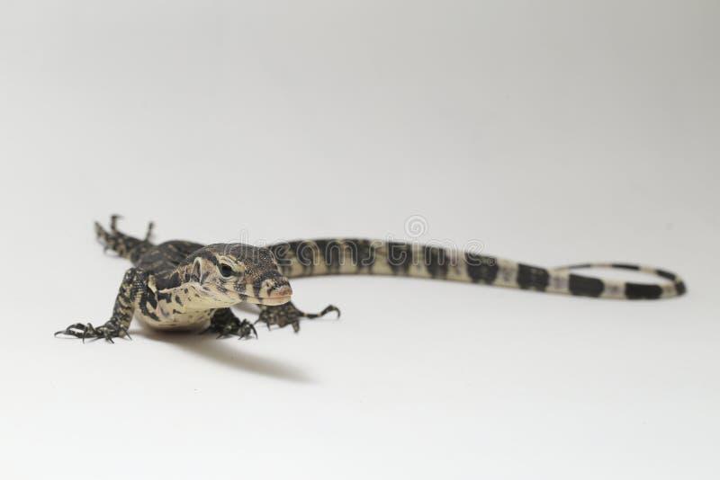 Azjatycki Wodnego monitoru Varanus lub jaszczurki salvator fotografia royalty free