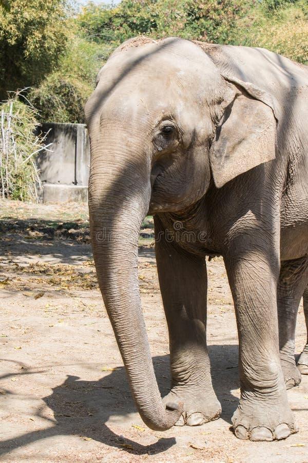 Azjatyckiego słonia zbliżenia przodu profil obrazy royalty free