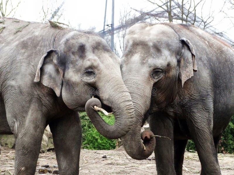 Azjatyckiego słonia miłość zdjęcia royalty free
