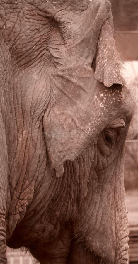 Azjatyckiego słonia nauki sepiowy _back ucho, twarz 11 obraz stock