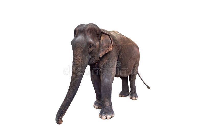 Azjatyckiego słonia odosobniony biały tło obraz royalty free