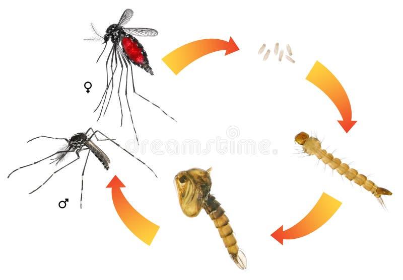 Azjatyckiego tygrysa komar lub lasu komar obrazy royalty free