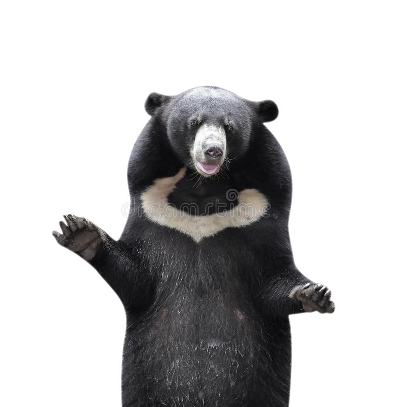 azjatyckiej black bear fotografia royalty free