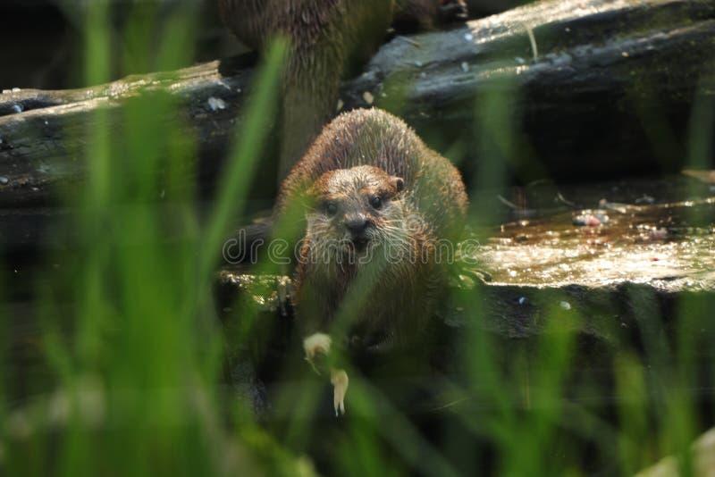 Azjatykci mały pazurzasty wydrowy patrzejący kamerę Patrzeć przez trawy na małym zwierzęciu który jest bardzo niebezpieczny i nap fotografia stock