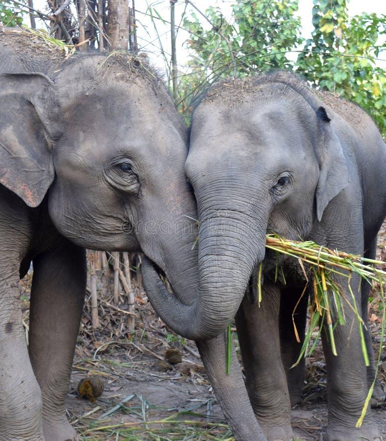 azjatykci słoni obrazy stock