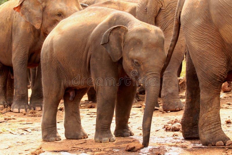 azjatykci słonie fotografia royalty free
