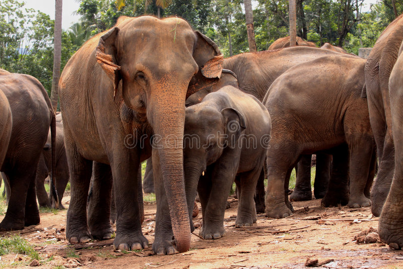 azjatykci słonie zdjęcia royalty free