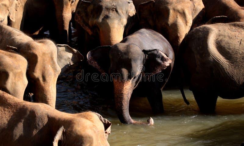 azjatykci słonie obraz royalty free
