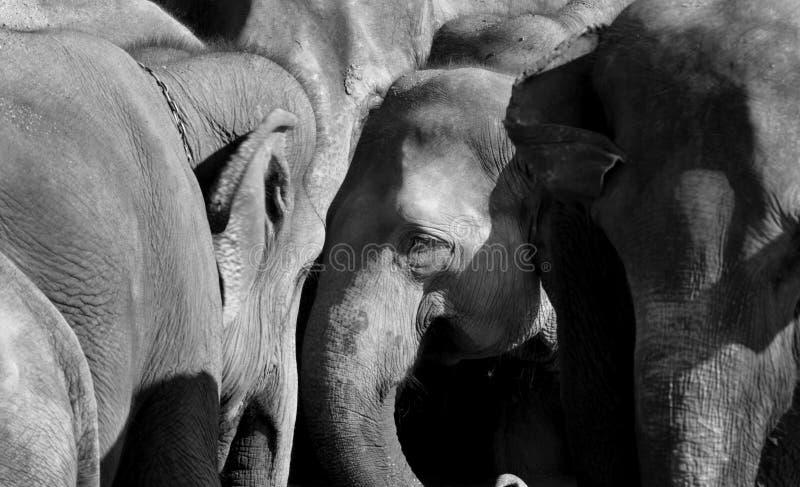 azjatykci słonie obrazy royalty free