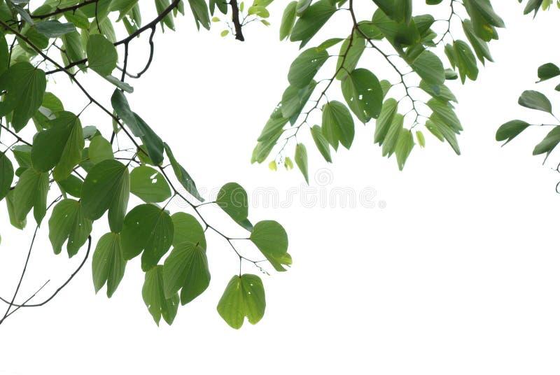azjatykciego okwitnięcia czereśniowy liść natury lato zdjęcie stock