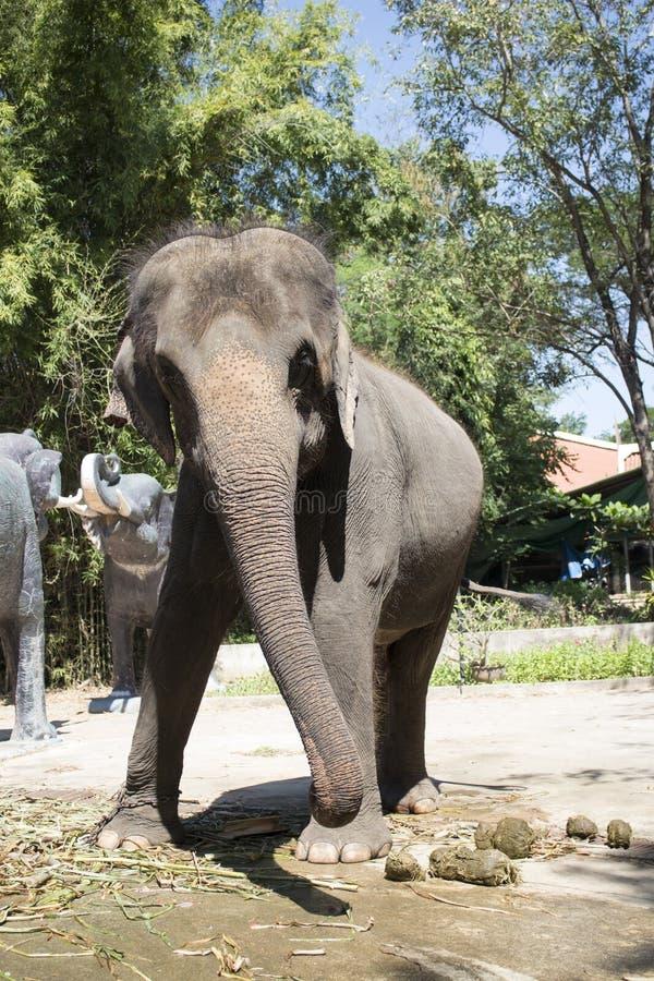 azjatykciego słonia Phuket Thailand potomstwa zdjęcie stock