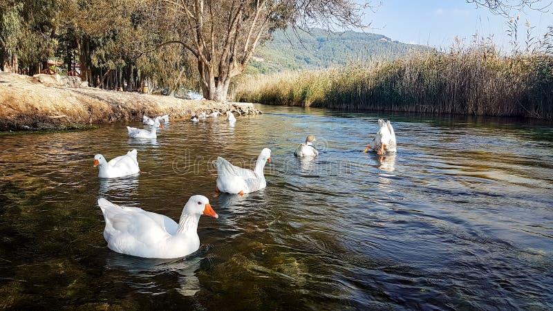 Azmak River, Akyaka, Mugla, Turkey. Nature composition. And ducks royalty free stock image