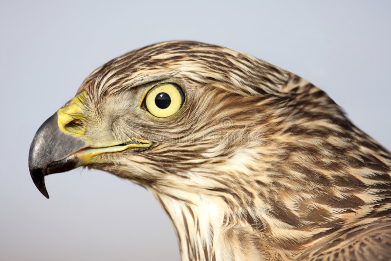 Azor norteño (gentilis del Accipiter) imagen de archivo libre de regalías