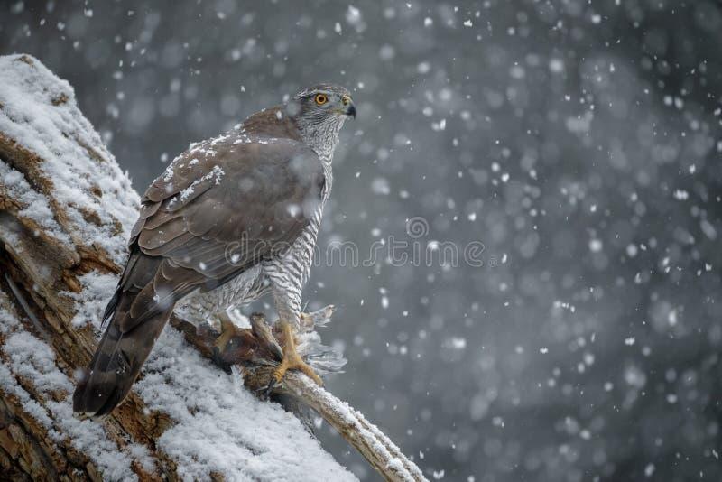 Azor septentrional, gentilis del accipiter, durante una tormenta de las nevadas fuertes foto de archivo