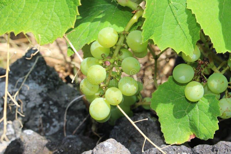 Azorean группа виноградины вина стоковые изображения