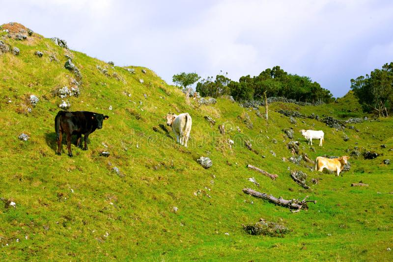Azores - Pico island Cows and Black Oxen, Farm Animals in the wild, Cattle Group. Azores cows and black oxen grassing freely in a rocky volcanic landscape stock images