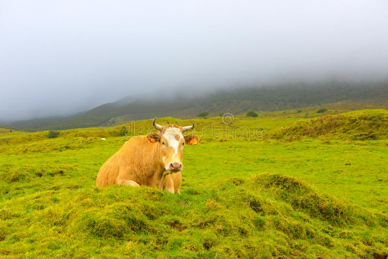 Azores - Pico island cow, Farm Animals in the wild, Stormy dark day. Azores cow with honey-brown fur lying in a rocky and volcanic landscape covered with green stock image