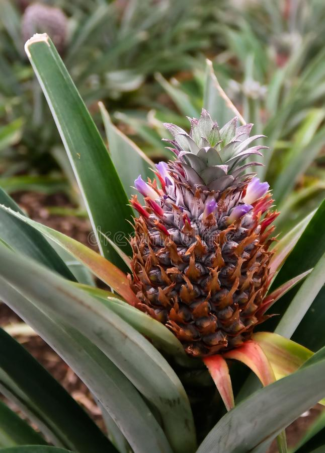 Azores Pineapple plantation at Sao Miduel, Portugal royalty free stock image