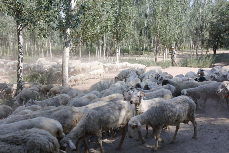 Azote de la onda del viejo hombre y ovejas en el bosque, adobe rgb del pastor fotografía de archivo libre de regalías