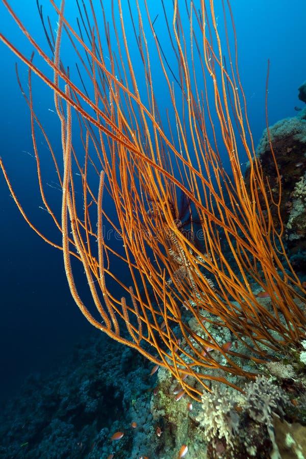 Azote rojo del racimo y filón tropical en el Mar Rojo. fotografía de archivo