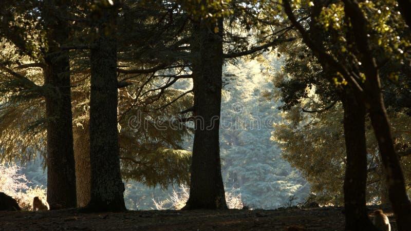 Azrou-Wald im marokkanischen Atlas stockbilder
