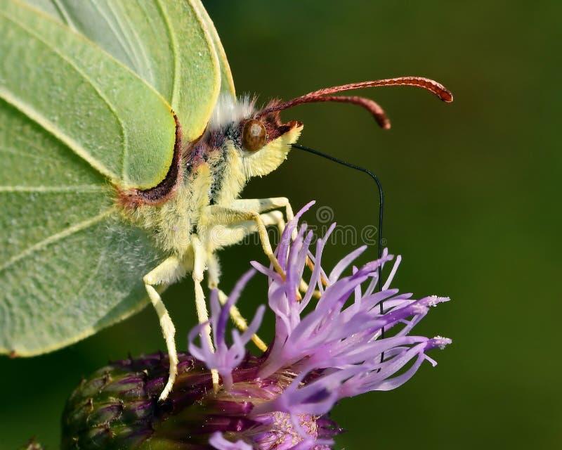 Azufre común de la mariposa, rhamni de Gonepteryx en primer fotografía de archivo