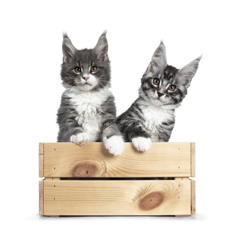 Azul bonito com os gatinhos pretos brancos e de prata do gato de Maine Coon do gato malhado no branco imagem de stock royalty free