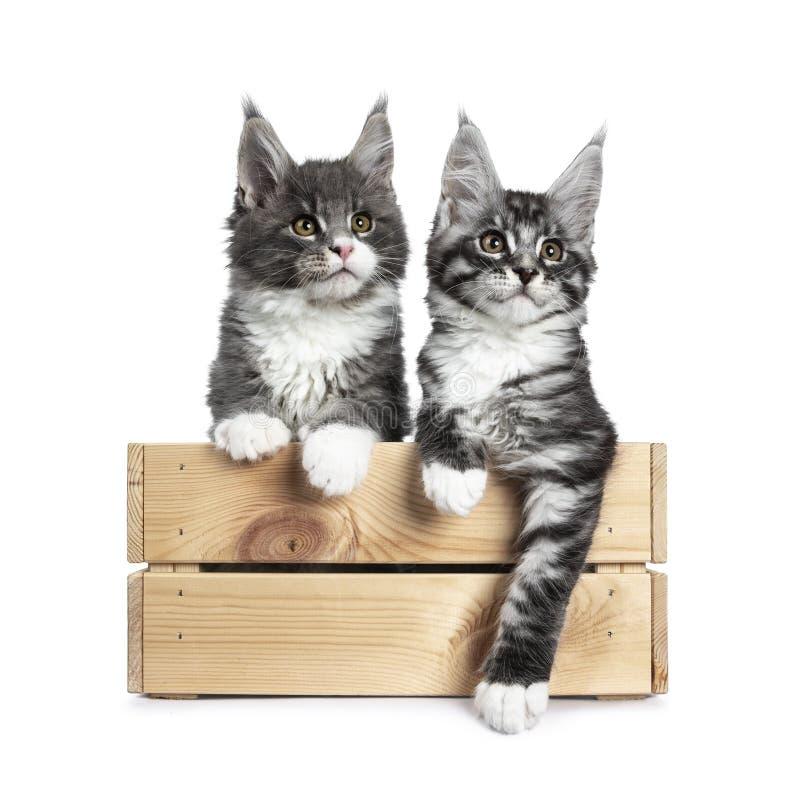 Azul bonito com os gatinhos pretos brancos e de prata do gato de Maine Coon do gato malhado no branco fotos de stock