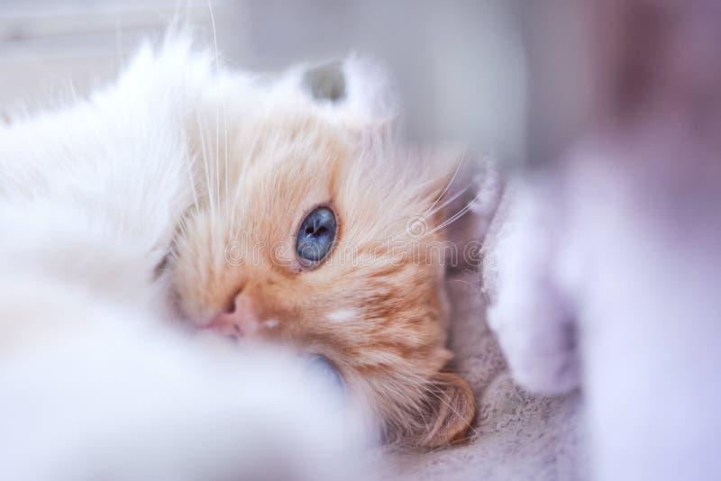 Azul bonito gato Eyed de Ragdoll fotografia de stock