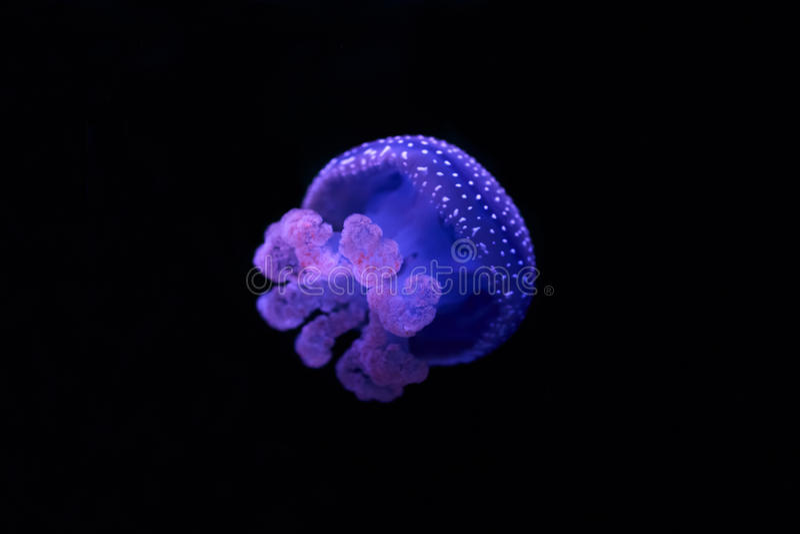 azul branco medusa manchadas (punctata de Phyllorhiza) imagem de stock