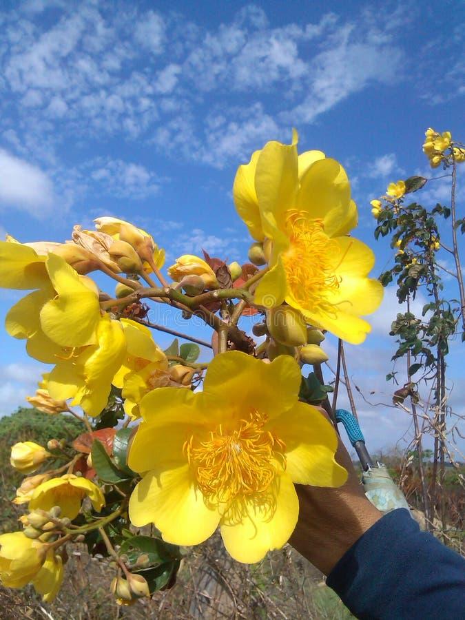 Azul-céu amarelos da flor imagens de stock