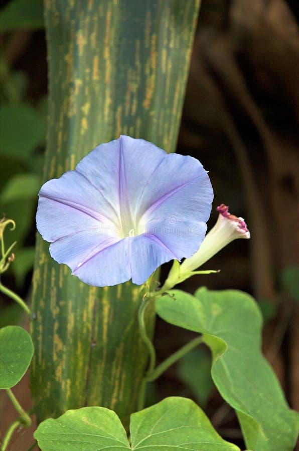 Azul celestial imagens de stock