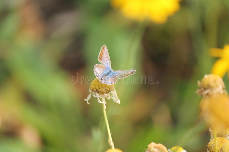 Azul da borboleta fotografia de stock royalty free