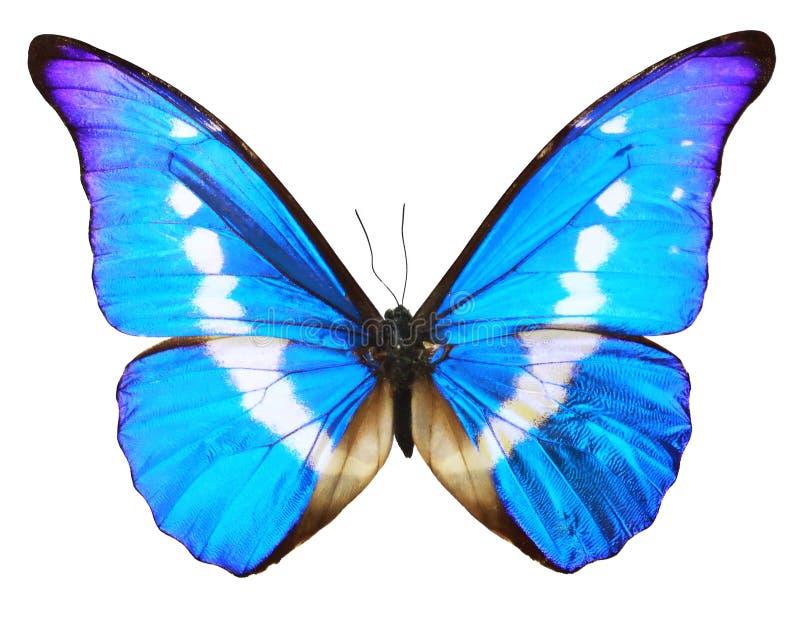 Azul da borboleta isolado sobre o fundo do whte imagem de stock