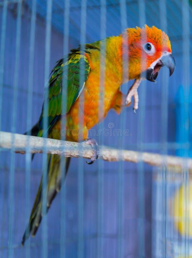 Azul da gaiola do papagaio foto de stock royalty free