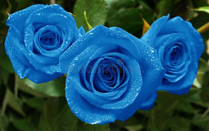 Azul das rosas três foto de stock