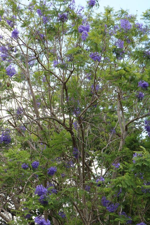 Azul de florescência da árvore do Jacaranda fotografia de stock royalty free