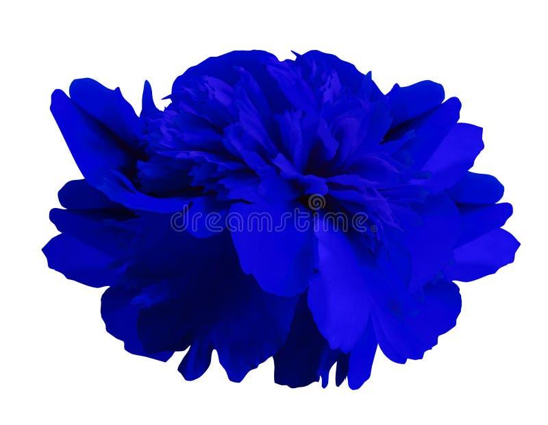 Azul de la flor de la peonía en fondo blanco aislado con la trayectoria de recortes ningunas sombras Primer Para el diseño foto de archivo