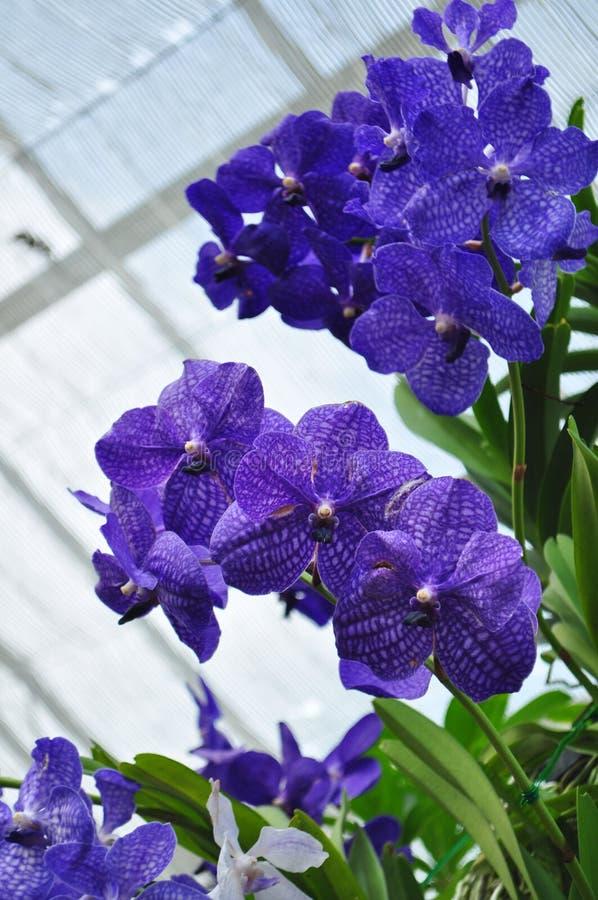 Azul de la orquídea imagen de archivo libre de regalías