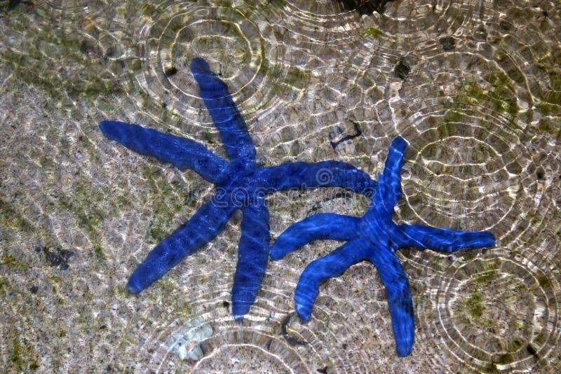 Azul de las estrellas de mar imagen de archivo
