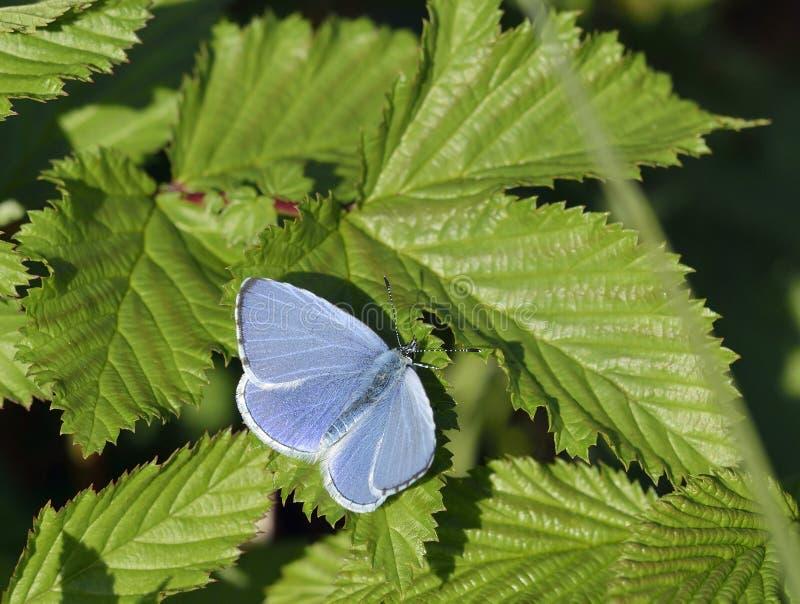 Azul del acebo fotos de archivo libres de regalías
