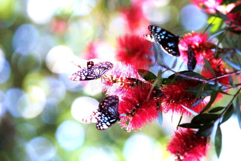 Azul e branco da borboleta imagem de stock