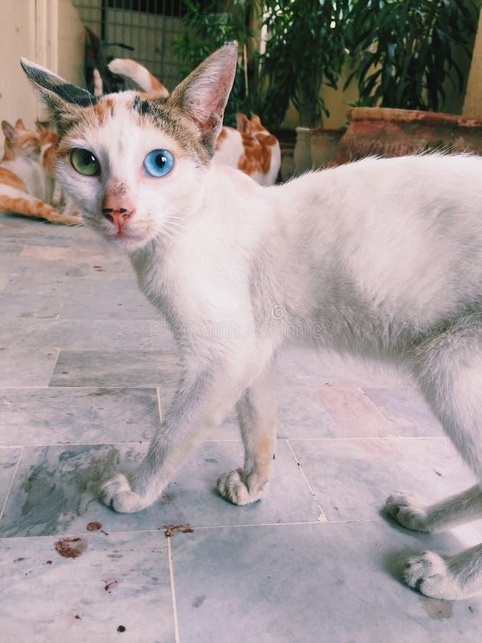 Azul e gatinho eyed verde fotos de stock