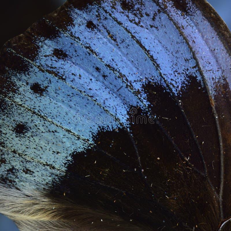 Azul ex?tico de veludo no fundo escuro do butterf comum do arquiduque imagens de stock royalty free